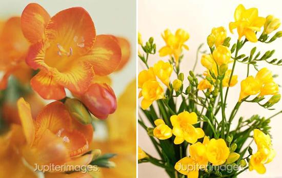 year-round wedding flowers: freesia