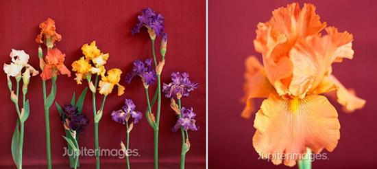 year-round wedding flowers: iris