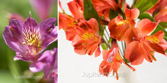 year-round wedding flowers: peruvian lilies